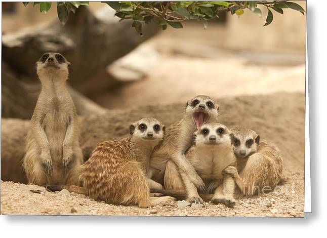 Mouth Guard Greeting Cards - Portrait group of meerkat Greeting Card by Anek Suwannaphoom