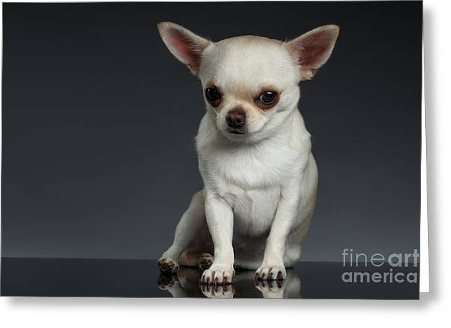 Portrait Little Chihuahua Dog Sitting On Dark Backgroun Greeting Card by Sergey Taran