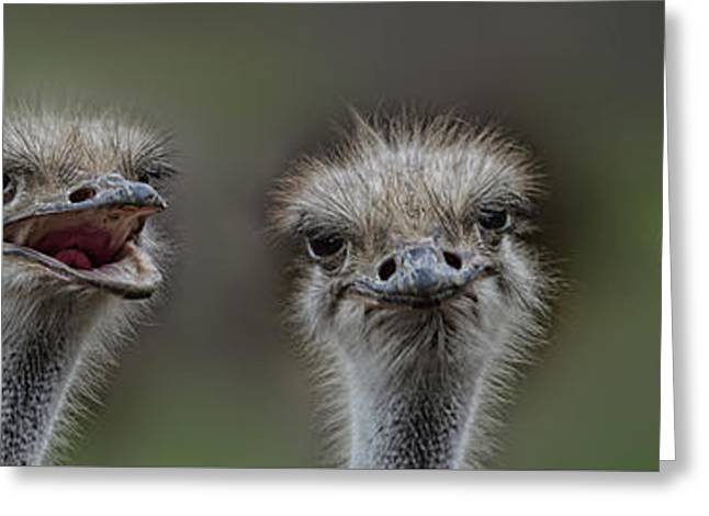 Ostrich Feathers Digital Art Greeting Cards - Portrait of 4 Ostriches with Different Points of View Greeting Card by Jim Fitzpatrick