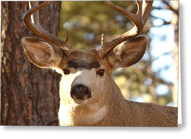 Portrait of a 15-point Buck Greeting Card by Max Allen