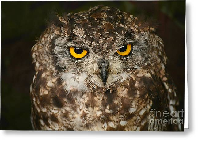 Eyebrow Greeting Cards - Portrait Of A Burrowing Owl Greeting Card by Alexandra Lavizzari