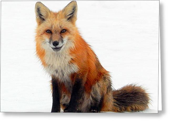 Annapolis Valley Greeting Cards - Portrait of a fox Greeting Card by Karen Cook