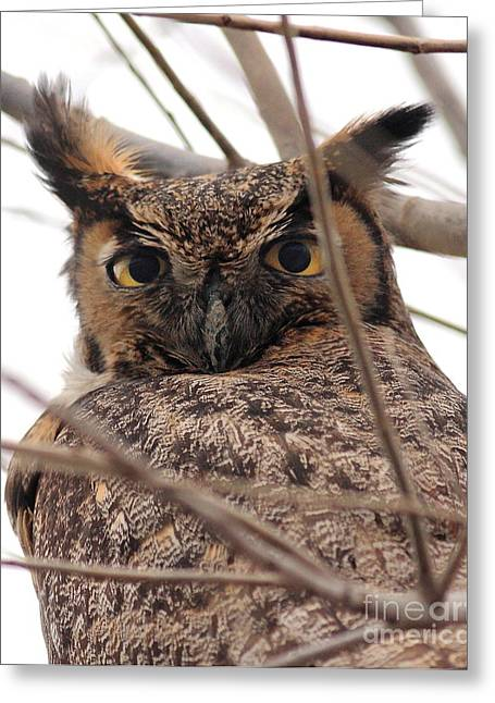 Wing Tong Photographs Greeting Cards - Portrait of a Great Horned Owl Greeting Card by Wingsdomain Art and Photography