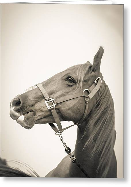 Race Horse Greeting Cards - Portrait of a Horse Greeting Card by Kelly Hazel