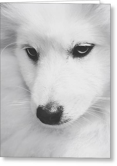 Japanese Puppy Greeting Cards - Portrait of a Japanese Spitz Greeting Card by Wolf Shadow  Photography