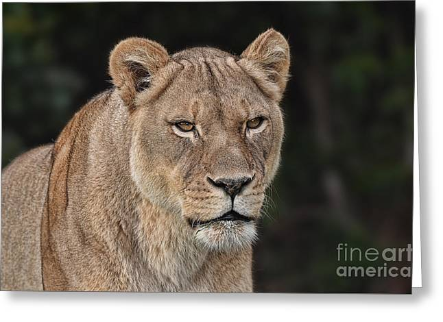 Reflection In Water Greeting Cards - Portrait of a Lioness II Greeting Card by Jim Fitzpatrick