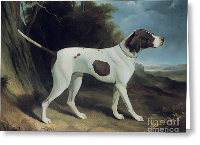 Tails Paintings Greeting Cards - Portrait of a liver and white pointer Greeting Card by George Garrard