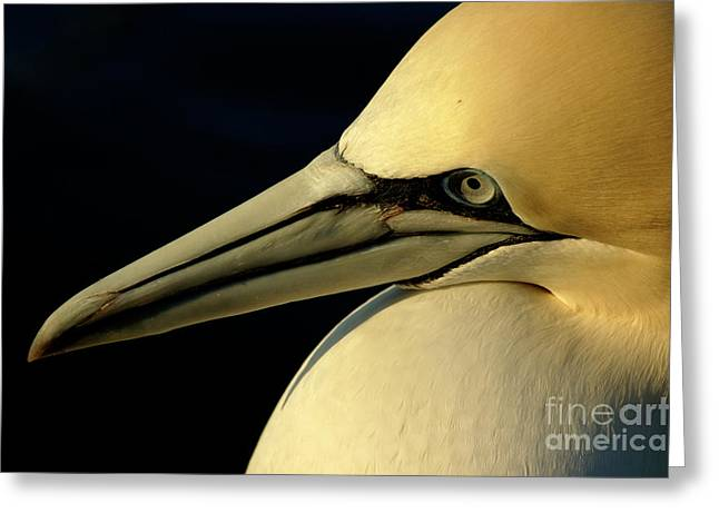 Portrait Of A Northern Gannet Greeting Card by Sami Sarkis