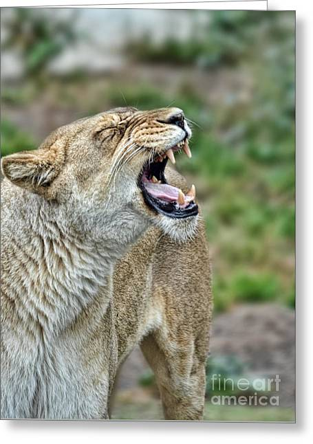 Reserve Greeting Cards - Portrait of a Roaring Lioness Greeting Card by Jim Fitzpatrick