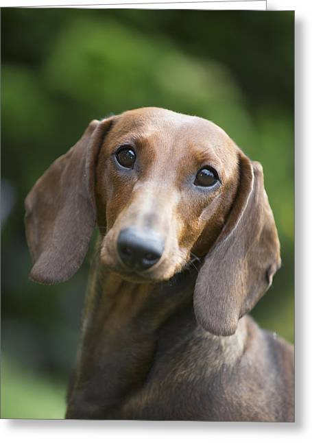 Portrait Of A Standard Dashchund Greeting Card by Lynn Stone