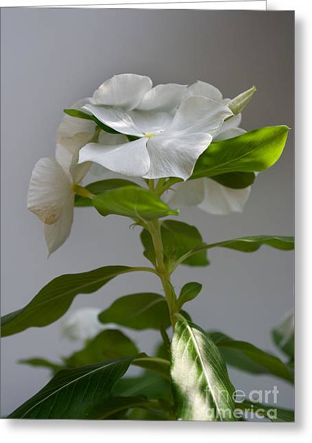 Portrait Of A Vinca Greeting Card by Skip Willits