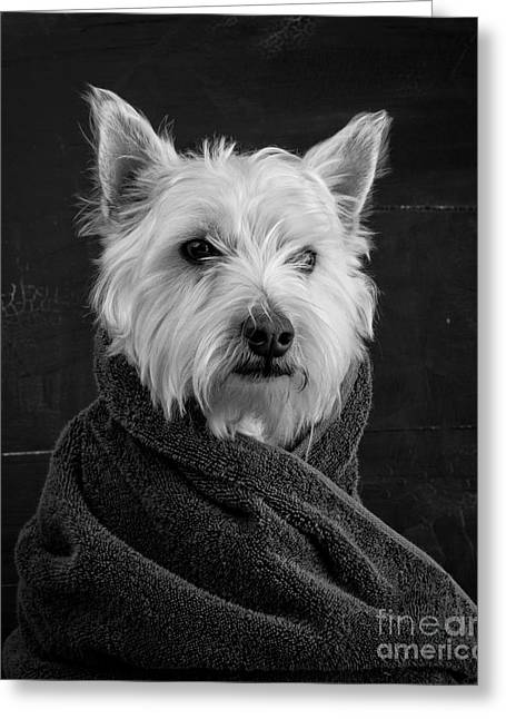 Westie Pup Greeting Cards - Portrait of a Westie Dog Greeting Card by Edward Fielding