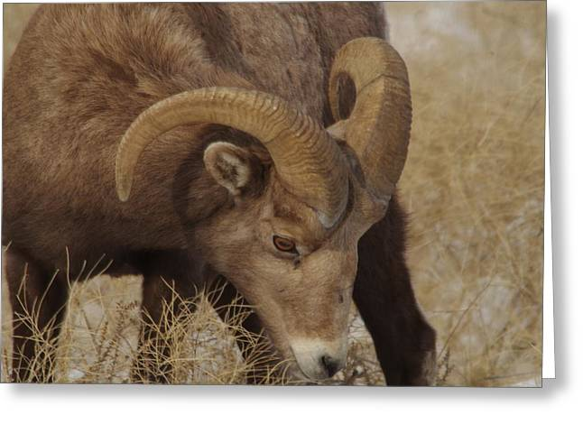 Portrait Of A Young Ram Greeting Card by Jeff Swan