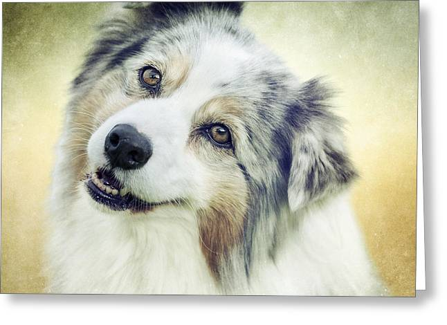 Head Tilt Greeting Cards - Portrait of an Australian Shepherd 1 Greeting Card by Wolf Shadow  Photography