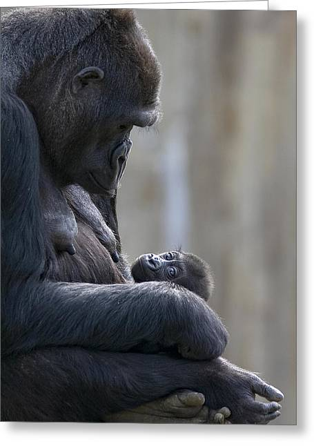 Full-length Portrait Photographs Greeting Cards - Portrait Of Gorilla Mother Looking Greeting Card by Karine Aigner