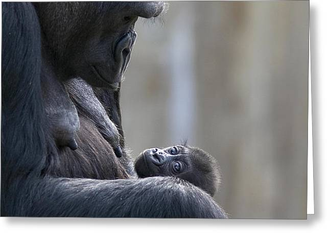 Portrait Of Gorilla Mother Looking Greeting Card by Karine Aigner