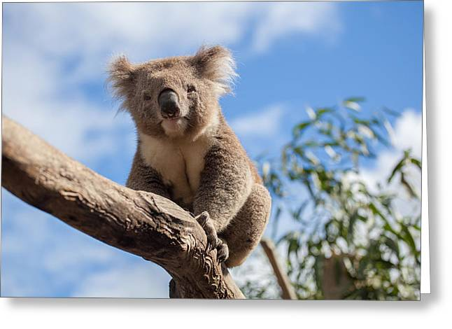 Australian Ethnicity Greeting Cards - Portrait of Koala sitting on a branch Greeting Card by Greg Brave