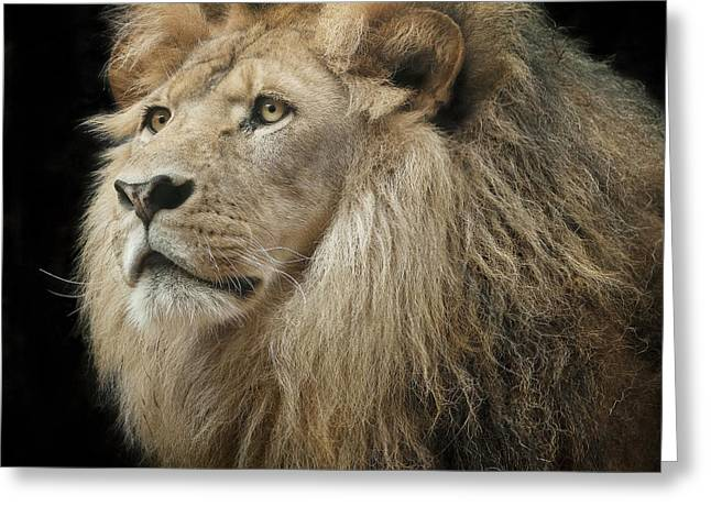 Lioness Greeting Cards - Portrait of the King Greeting Card by Linda D Lester
