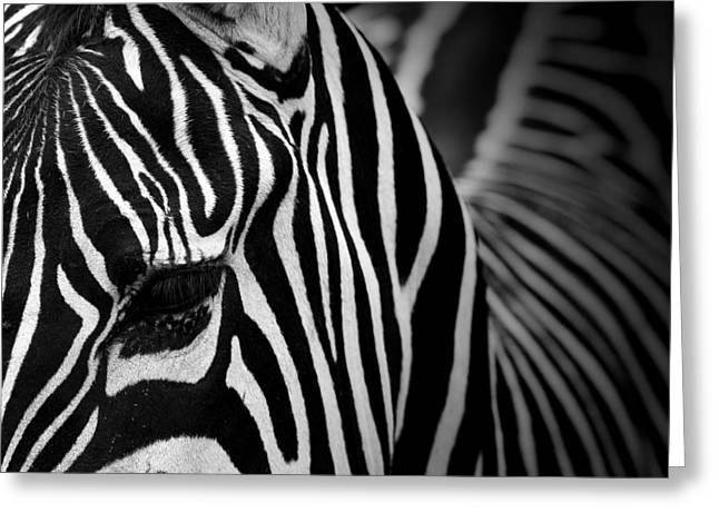 Zebras Greeting Cards - Portrait of Zebra in black and white V Greeting Card by Lukas Holas