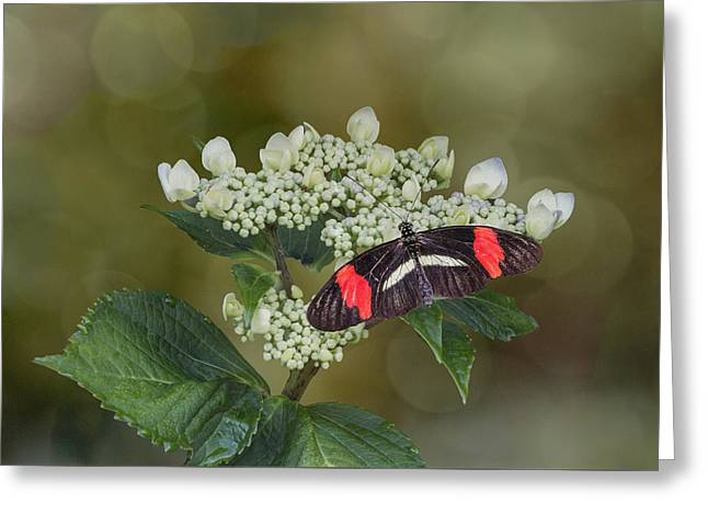 Patch Greeting Cards - Postman Butterfly Greeting Card by Patti Deters