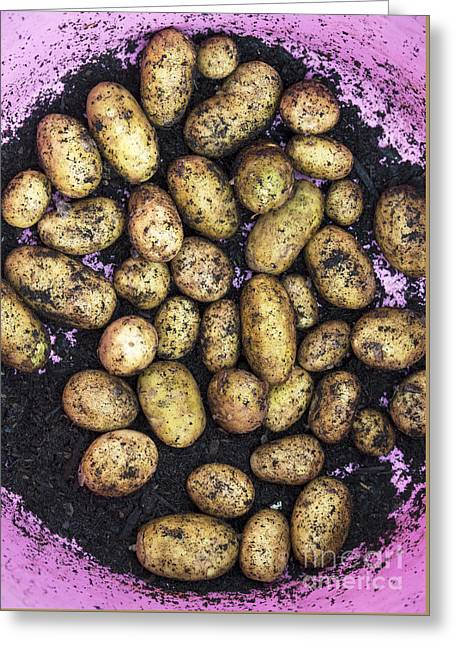 Yield Greeting Cards - Potato Harvest Greeting Card by Tim Gainey