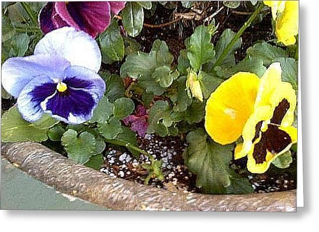 Potted Pansy  Greeting Card by Vickie G Buccini