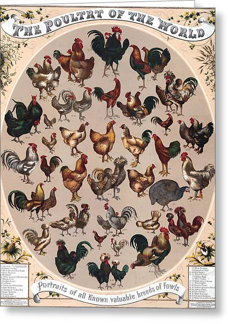 Assorted Drawings Greeting Cards - Poultry of the World Poster Greeting Card by American School