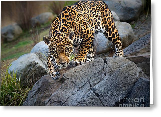 Jaguars Greeting Cards - Pounce Greeting Card by Jamie Pham