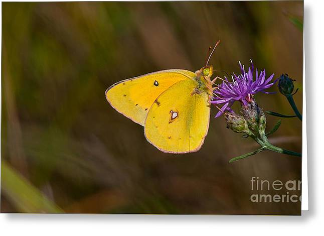 Powder Greeting Cards - Powder Yellow Butterfly Greeting Card by Marcus Robertson