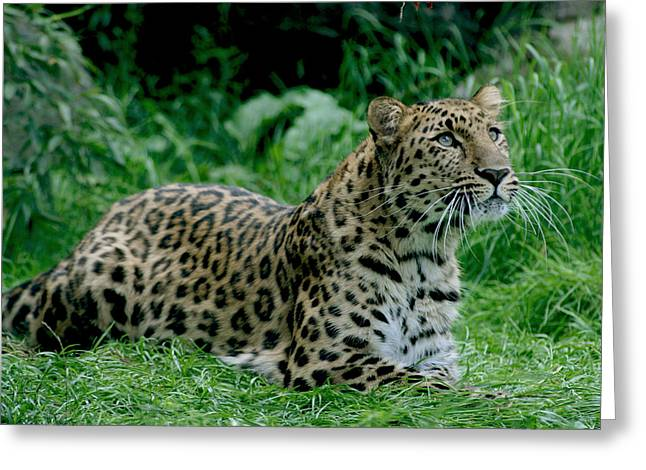 Amur Greeting Cards - Powerful Amur Leopard Greeting Card by Julie L Hoddinott