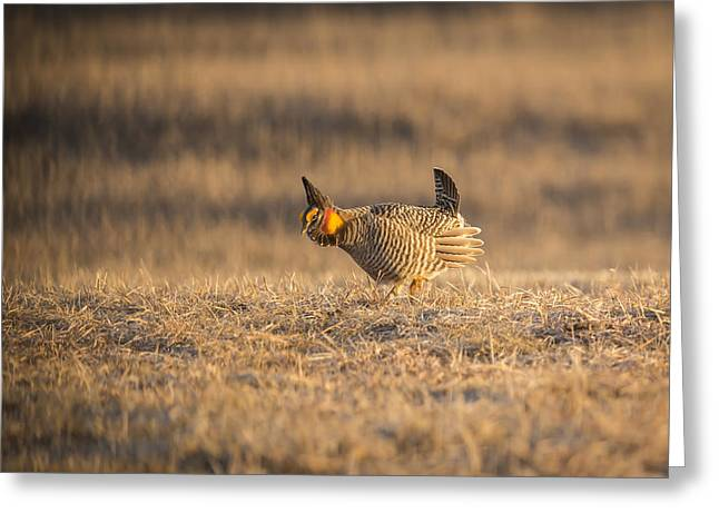 Prairie Chicken 2013-15 Greeting Card by Thomas Young