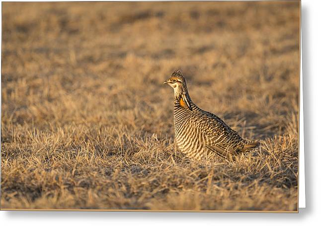 Prairie Chicken 2013-16 Greeting Card by Thomas Young
