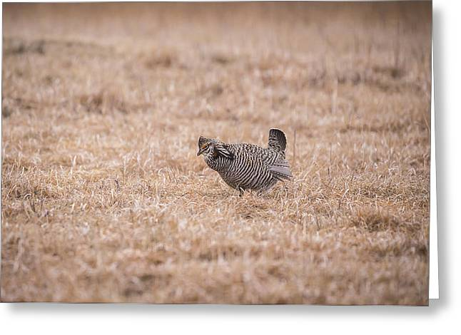 Prairie Chicken Greeting Cards - Prairie Chicken 3-2015 Greeting Card by Thomas Young
