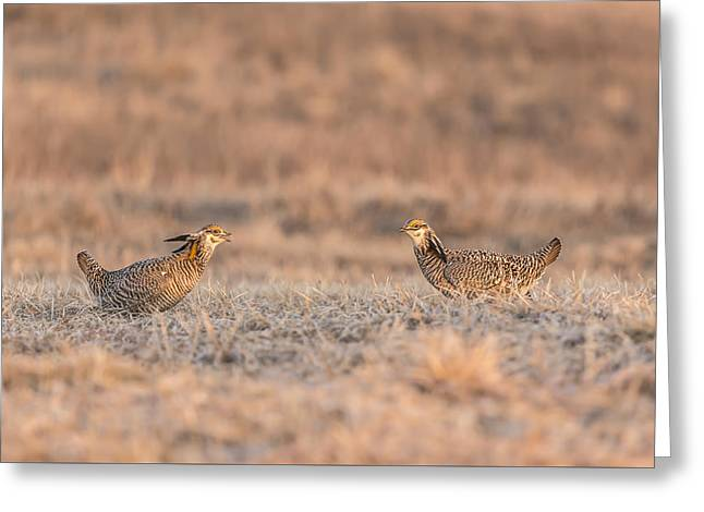 Prairie Chickens 2013-1 Greeting Card by Thomas Young