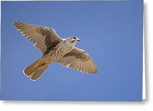 Soaring Falcon Greeting Cards - Prairie Falcon Greeting Card by Earl Nelson