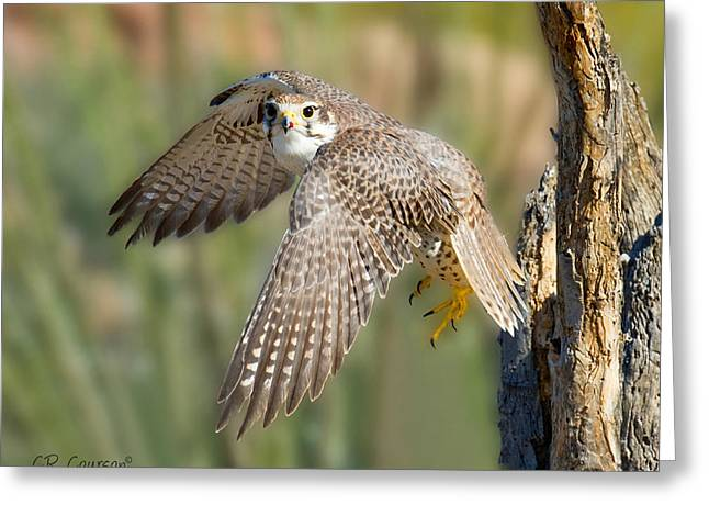 Courson Greeting Cards - Prairie Falcon Taking Flight Greeting Card by CR  Courson