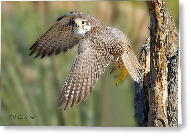 Prairie Falcon Taking Flight Greeting Card by CR  Courson