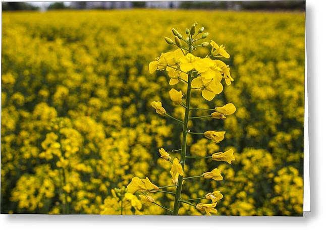 Deutschland Greeting Cards - Prairie Fields of Yellow Greeting Card by Miguel Winterpacht
