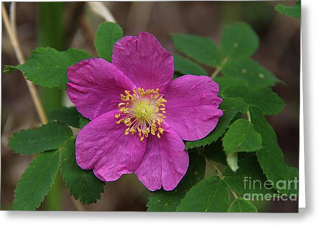 Rosa Acicularis Greeting Cards - Prairie Rose  Greeting Card by Vickie Emms