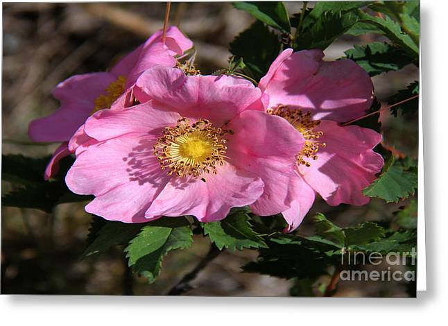 Rosa Acicularis Greeting Cards - Prairie Roses Rosa acicularis Greeting Card by Vickie Emms