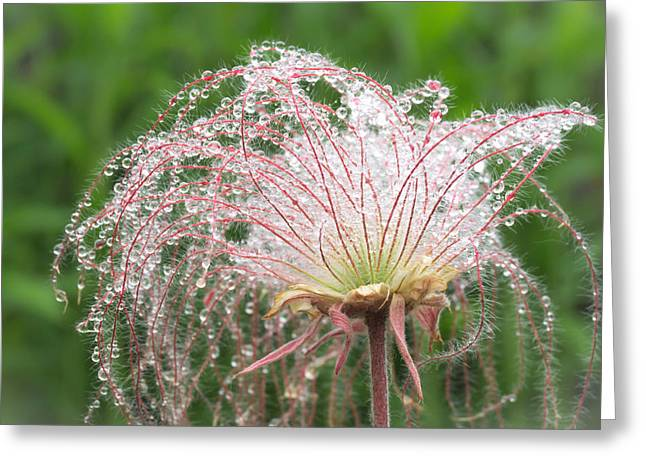 Avens Greeting Cards - Prairie Smoke    Greeting Card by Jim Hughes