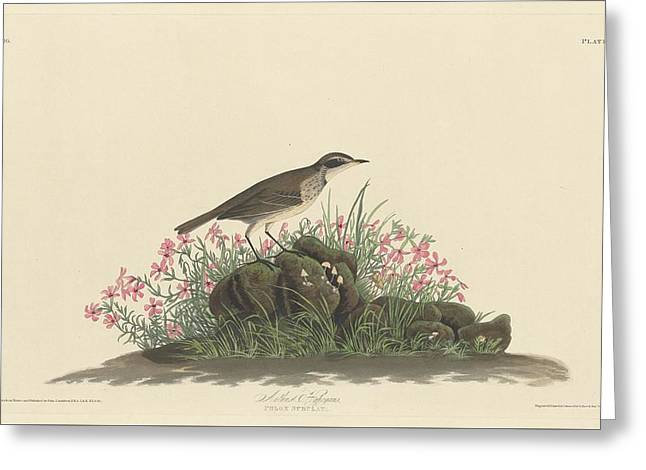 Prairies Greeting Cards - Prairie Titlark Greeting Card by John James Audubon