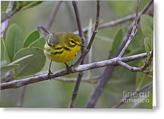 Prairie Warbler In Cuba Greeting Card by Neil Bowman/FLPA