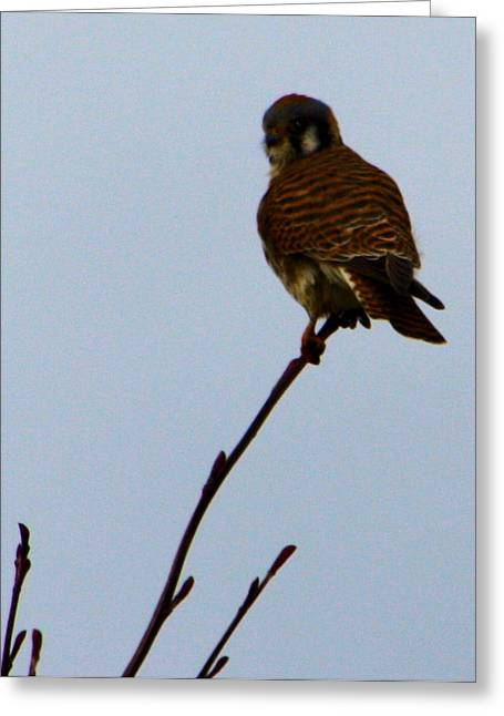 Prarie Greeting Cards - Prarie Hawk Greeting Card by Nick Gustafson