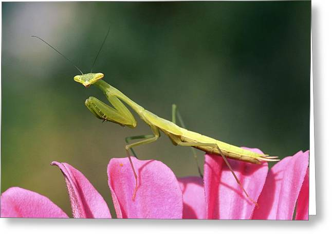 Mantodea Greeting Cards - Praying Mantis Greeting Card by Photostock-israel