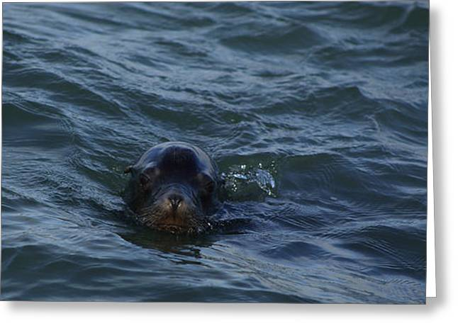 Sea Lions Greeting Cards - Precious Greeting Card by Damien Pennington