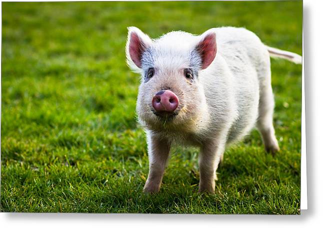 Funny Greeting Cards - Precocious Piglet Greeting Card by Justin Albrecht
