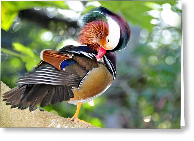Preening Greeting Cards - Preening duck Greeting Card by David Lee Thompson