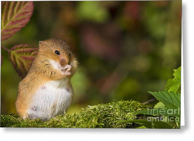 Mouse Photographs Greeting Cards - Pregnant Harvest Mouse Greeting Card by Jean-Louis Klein & Marie-Luce Hubert