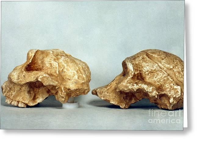 Paleolithic Greeting Cards - Prehistoric Skulls Greeting Card by Granger
